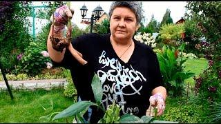 Деление пионов(Как правильно пересадить и разделить пион рассказывает опытный цветовод, директор летних цветочных выстав..., 2014-08-18T07:35:13.000Z)