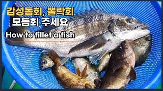 자연산 감성돔회, 뽈락회, 모듬회 손질 및 회뜨기.