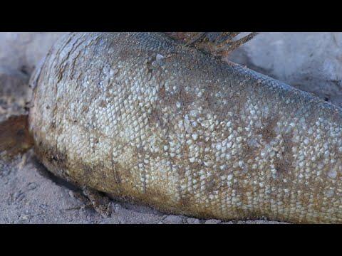 Amazing Catch Big Fish 2020 - Find Big Fish In Underground Grass In Dry Season 2020
