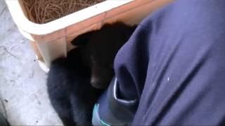 北秋田市阿仁の熊牧場で2013年に生まれた仔熊です。 青の首輪のコはちょ...