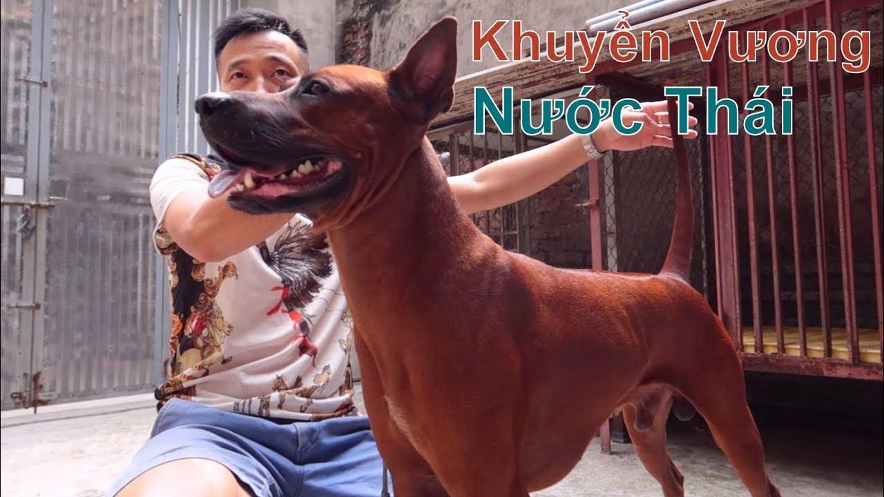 Chó Xoáy Thái Lan \u0026 Anh Bạn Có Bộ Sưu Tập Huy Chương Đáng Nể/ Thai Ridgeback Dog/ NhamTuatTV