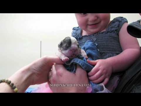 french bulldog c section dog cesarean canine bulldog c section youtube 4159