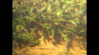 Cryptocoryne beckettii and The fish of Sri Lanka  -DIscoveryPlanet-