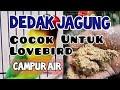 Dedak Jagung Campur Air Cocok Untuk Ternak Lovebird Pakan Murah Meria  Mp3 - Mp4 Download