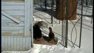 Chickens in the Winter How to Care for Them