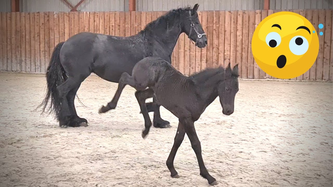 Who is the fastest? Let's race!   Friesian Horses