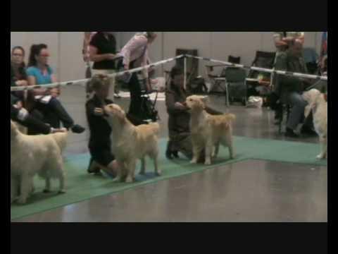 World Dog Show - Golden Retriever Dogs - Field Trial Class
