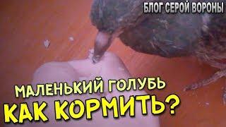 Еще один способ как кормить птенца голубя