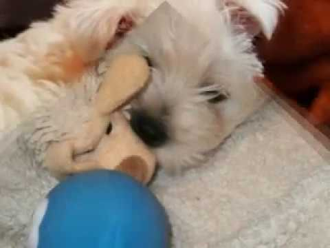 Fergus Macduff  - The Cutest Westie Puppy Ever - West Highland White Terrier
