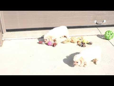 Ivan Mast's Toy Poodle Pups