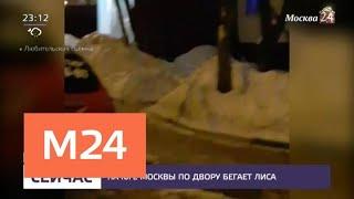 На юге Москвы во дворе обнаружили лису - Москва 24