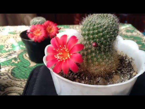 Таймлапс цветение кактуса Ребуция