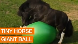 Tiny Horse Plays With Giant Ball
