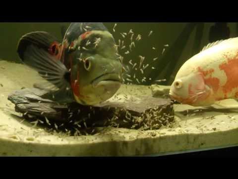 Oscar Fish Fry - 5 Days Old !