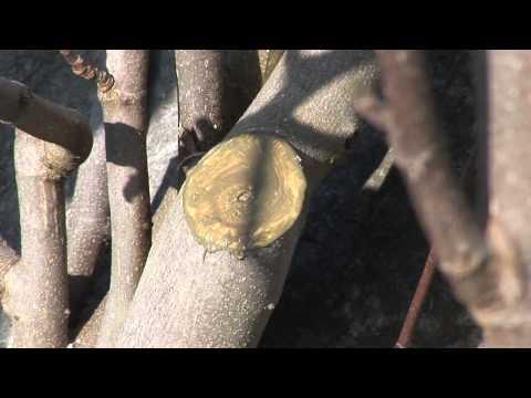 feigenbaum-schneiden-und-pflegen