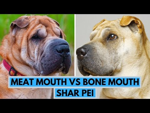 Meat Mouth vs Bone Mouth Shar Pei Dog Breed