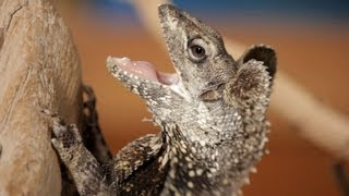 5 Cool Facts about Frilled Dragons | Pet Reptiles