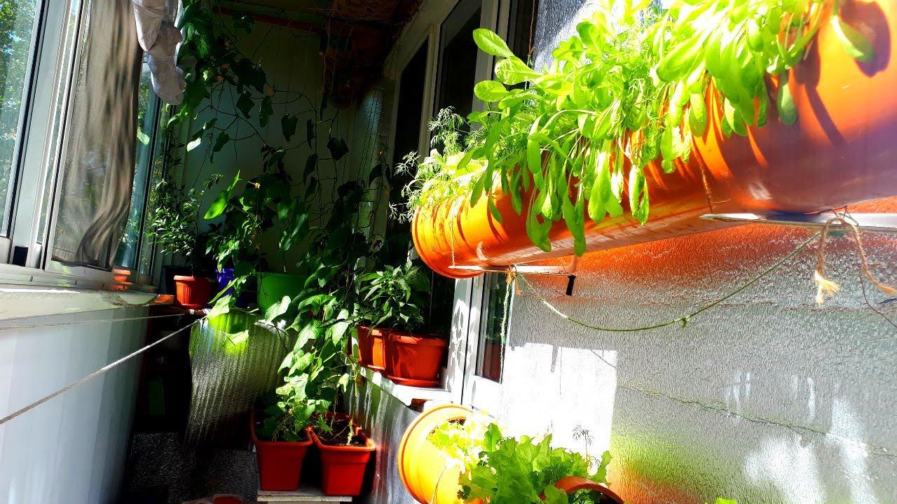 Огород на балконе 2020.Сентябрь