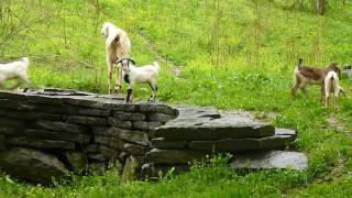 """Frolic"" baby lambs and goats"