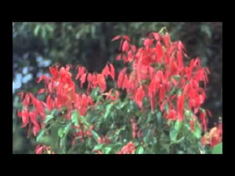 Кассия, Коричник цейлонский (Cinnamomum zeylanicum)