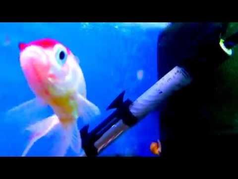 Аквариумная Золотая рыбка -Оранда Красная шапочка.Аквариумистика