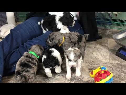 Lilly's schnoodle puppies 1-16-19