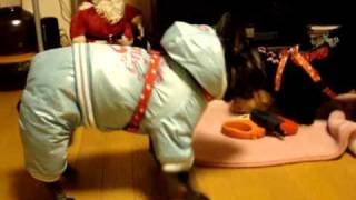 French Bulldog - Disgust With New Clothes!