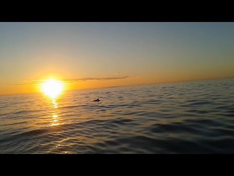 Dolphins Cruising In Indian Ocean Sunset Western Australia