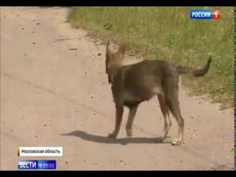 Двух летнего мальчика покусали собаки до реанимации. Московская обл. 28.05.2019
