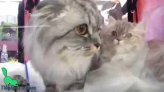 Шотландский вислоухий Пушистик, Породы кошек