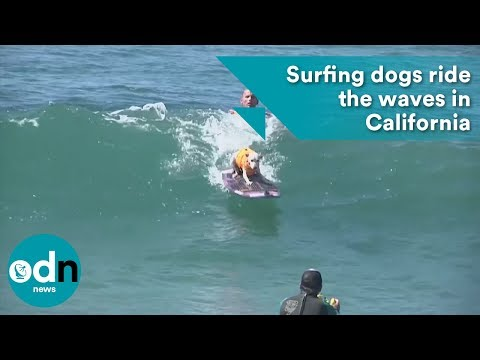 Surfing dogs ride the waves in California