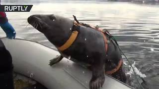 This cute seal is undergoing military training for future service
