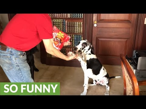 Great Dane shows puppy how to shake