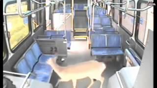 Подборка жестких аварий с животными.
