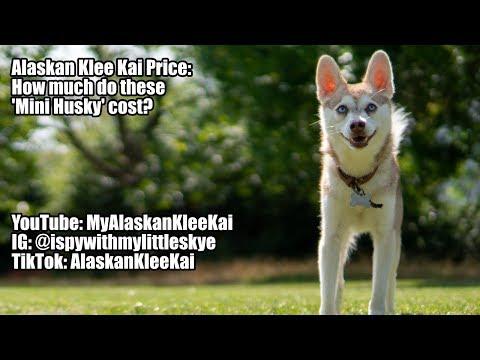 Alaskan Klee Kai price: How much do these 'Mini Huskies' cost?
