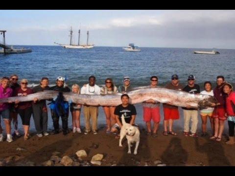 Oarfish Raksasa Kejutkan Penyelam di California