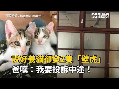 說好養貓卻變2隻「壁虎」 爸嘆:我要投訴中途!