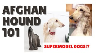 Everything you need to know about the AFGHAN HOUND!