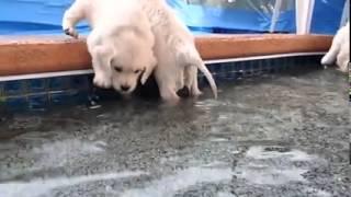 White Labrador Retriever Puppies Learning To Swim