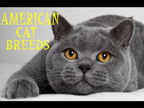 Cat Breeds in American