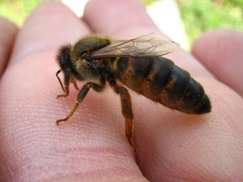 Kafkas Arısı (SERKA) Caucasian Honey Bee