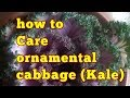 How to grow and care ornamental cabbage//How to care ornamental cabbage