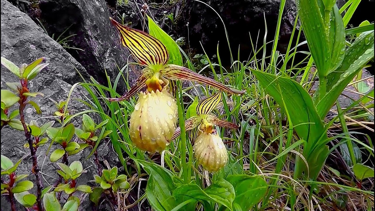 A rare yellow slipper orchid of southwestern china cypripedium a rare yellow slipper orchid of southwestern china cypripedium farreri mightylinksfo