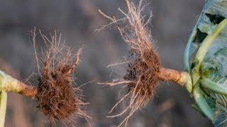 stymulacja korzeni warzyw, truskawek i innych upraw