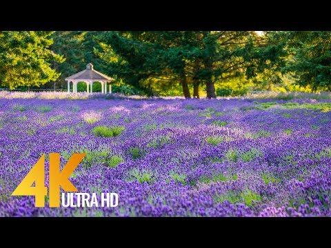 4K Martha Lane Lavender Farm, Sequim - 4 HOURS Relaxation Video (Nature Sounds)
