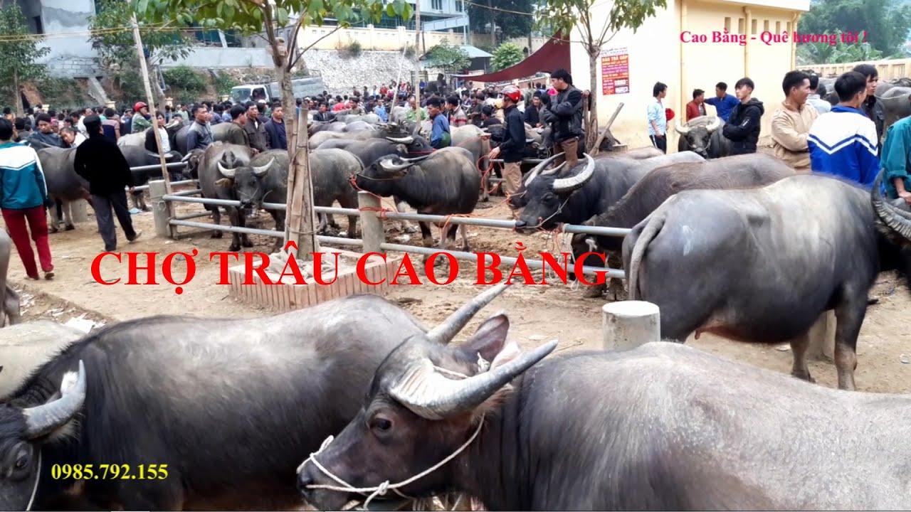 Chợ chuyên bán trâu bò ở Cao Bằng, chợ trâu Cao Bằng, chợ bán nhiều trâu bò Cao Bằng, con trâu