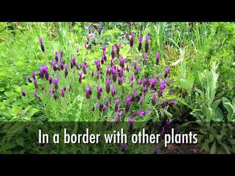 Lavender How To Plant Grow And Care For Lavender The Old