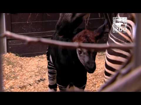 Baby Okapi First Video - Cincinnati Zoo