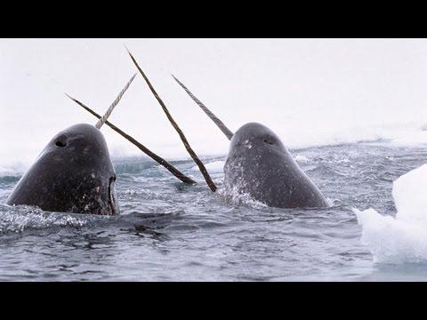 Narvals & Belugas : animaux étranges de l'Arctique - ZAPPING SAUVAGE
