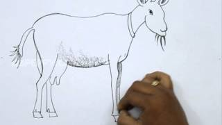 How to Draw a Domestic Goat